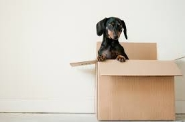 Picture of our customers wiener dog inside a box ready to be moved in Providence, RI